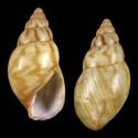 Achatina tincta obliterata
