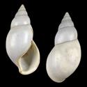 Amastra reticulata cf.