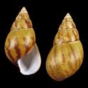 Achatina schweinfurthi buchneri