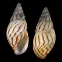 Limicolaria schoutedeni