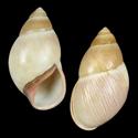 Megalobulimus oblongus conicus