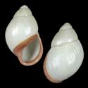 Megalobulimus oblongus lorentzianus