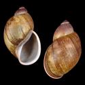 Megalobulimus yporanganum