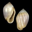 Melampus castaneus
