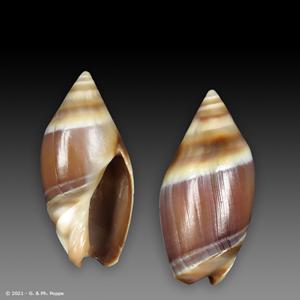 Amalda australis