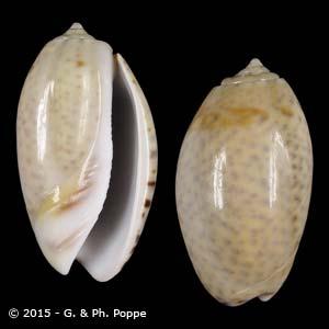 Oliva bulbosa f. inflata