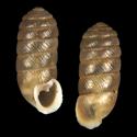 Schileykula scyphus erecta