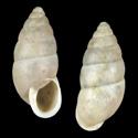 Coccoderma thrausta