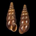 Chondrina farinesii sexplicata