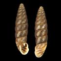 Abida affinis
