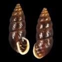 Chondrina megacheilos caziotana