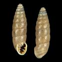Abida secale f. bofilli
