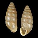 Imparietula microdon