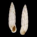 Brephulopsis cylindrica