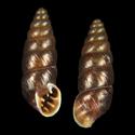 Chondrina bigorriensis