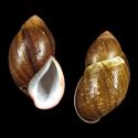 Megalobulimus grandis