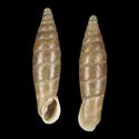 Clausilioides biplicatus