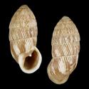 Cerion gubernatorium agrestinum