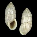 Cerion tridentatum tridentatum