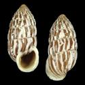 Cerion marielinum dominicanum