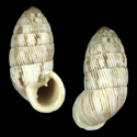 Cerion striatellum striatellum cf. 3