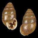 Euchondrus michonii