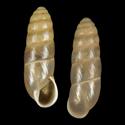 Buliminus akkumensis