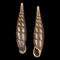 Acanthophaedusa ookuboi