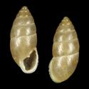 Chondrula isseliana didymoda