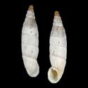 Albinaria contaminata odysseus