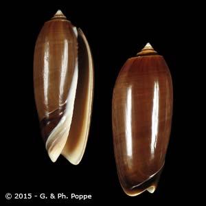 Oliva miniacea miniacea f. aurantica
