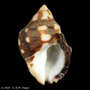 Acanthina brevidentata