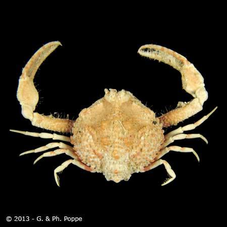 Ebalia scabriuscula cf.