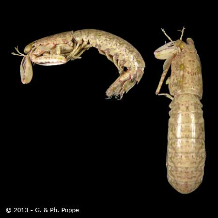 Odontodactylus species