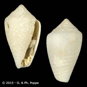 Conus species 103 FOSSIL