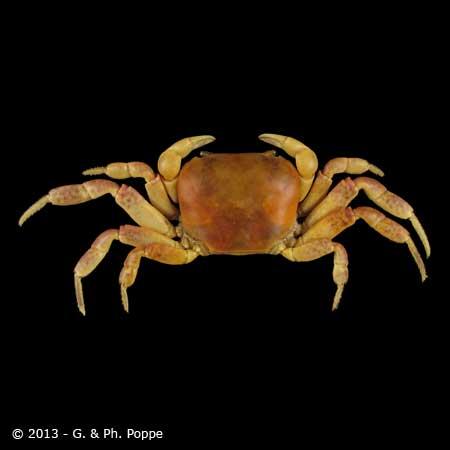 Geotelphusa species 002