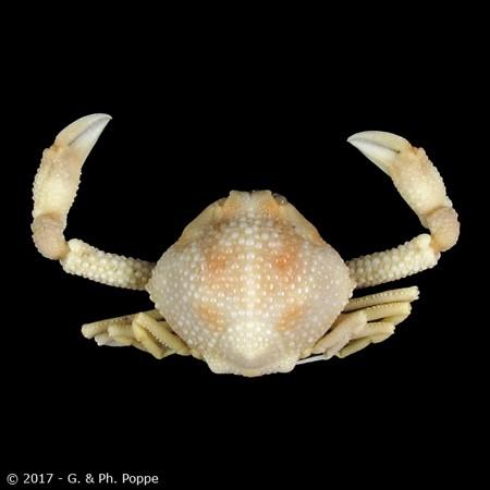 Ebalia scabriuscula