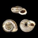 Caucasigena eichwaldi