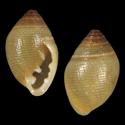 Laemodonta punctatostriata