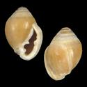 Laemodonta anaaensis