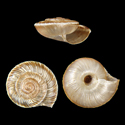 Caucasigena schileykoi