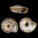 Caucasigena rengarteni