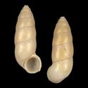 Megalomastoma cylindracea