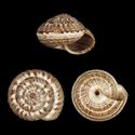 Cernuella berkanensis