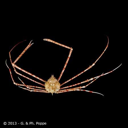 Phalangipus species