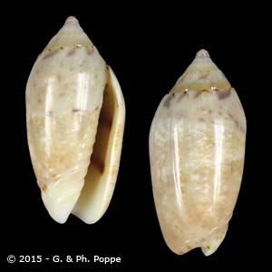 Oliva nitidula sandwicensis