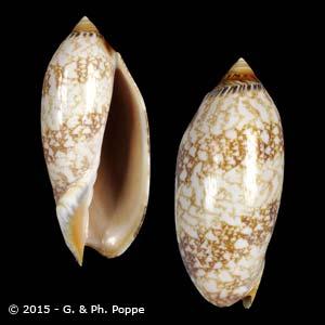 Amoria damonii damonii
