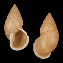 Thaumastus porphyrius cajamarcanus
