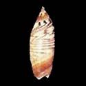 Agaronia lutaria f. fikasherinae
