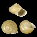 Geophorus moquiniana cristobalensis